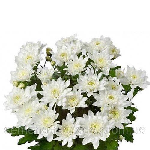 Хризантема бордюрная Кристал Фреш белая