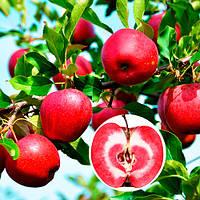 Саджанці яблуні ЧЕРВОНА КОРОЛЬКА осінньо-зимовий термін дозрівання (дволітки)
