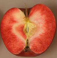 Саджанці яблуні РЕД ДЕВІЛ осінньо-зимовий термін дозрівання (дворічний)