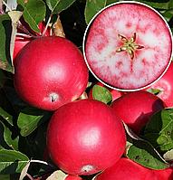 Саженцы яблони РОЗЕТТЕ осеннего срока созревания (двухлетний)