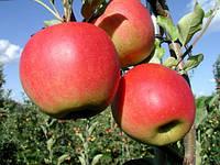 Саджанці яблуні СОЛОДКА КИЛИМУ зимового терміну дозрівання (дворічний)
