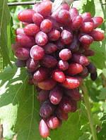 Саженцы винограда Изюминка