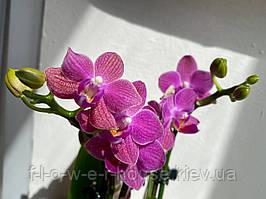 Орхидея Яркая миди