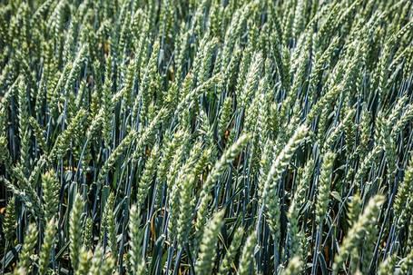 Пшеница озимая Металлист, элита, фото 2