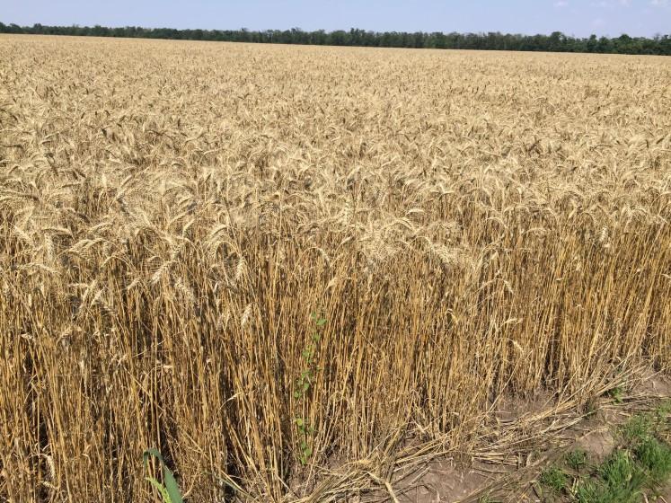Пшеница озимая Ампер, элита