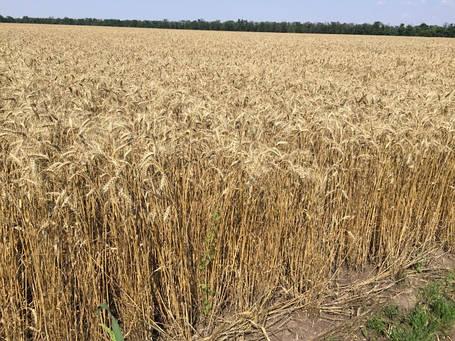 Пшеница озимая Ампер, элита, фото 2