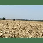 Пшеница озимая Венок Подолья, (Вінок Поділля) элита, фото 2