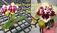 Орхидея Phal. Allura 'Exotic Dancer' биг лип