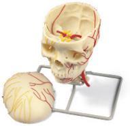 Модель черепа с нервами и сосудами.