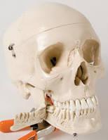 Модель черепа с зубами для обучения экстракции зуба, 4 части.