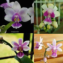 Орхидея Гибрид equestris × deliciosa