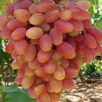Саженцы винограда СЕНСАЦИЯ ранний