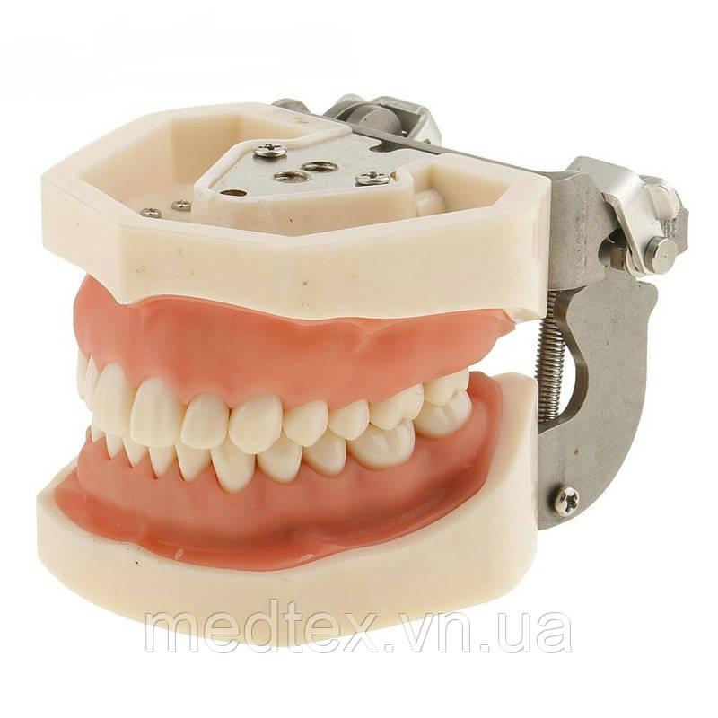 Модель челюсти человека со съемными зубами