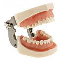 Модель челюсти человека со съемными зубами, фото 4