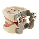 Модель челюсти человека со съемными зубами, фото 5