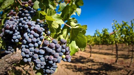 виноград, саженцы винограда, купить саженцы винограда, саженцы винограда в Украине, продам саженцы винограда, сорта винограда
