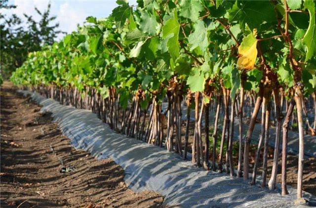 посадке винограда, саженцы винограда, купить саженцы винограда, посадка винограда в Украине
