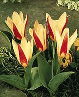 Tinka тюльпан ботанический