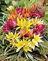 Микс 25 шт тюльпан ботанический
