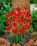 Тюльпан ботанический Linifolia.