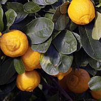 """Лайм, Лиметта, (Citrus limetta """"Dolce Romana"""") 20-25 см."""