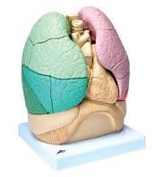Сегментарная модель легких человека.