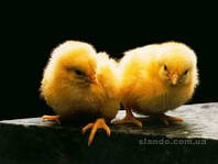 Цыплята бройлера.