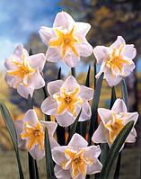 Нарцисс сплит-корона Lemon Beauty (Лемон Красоты).