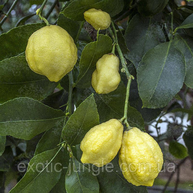 "Лимон ""Каналикулята ди Палермо"" (C. limon ""Canaliculata di Palermo"") до 20 см. Комнатный"