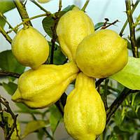 "Лимон Каналикулята (C. limon ""Canaliculata"") 20-25 см. Комнатный"