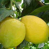 "Лимон ""Фемминелло Адамо"" (C. limon ""Femminello Adamo"") до 20 см. Комнатный"