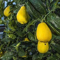 Лимон Вакхалоу (C. limon Vakhalou) 20-25 см. Комнатный