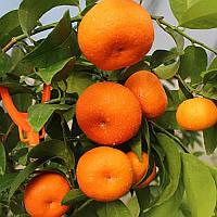 "Клементин ""Аноси"" (C. clementina ""Anosi"") 20-25 см. Комнатный"