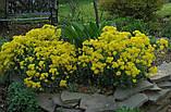 Алиссум Золотая Осень Hem Zaden Голландия 0,2 грамма, фото 2