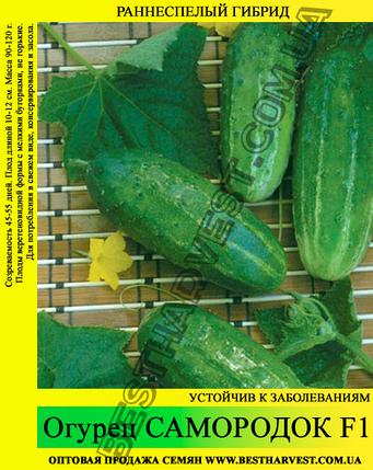 Насіння огірка Самородок F1 0,5 кг, фото 2