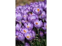 Barr's Purple крокус ботаника
