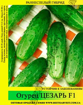 Семена огурца Цезарь F1 5 кг (мешок), фото 2