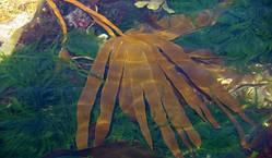 Архангельские водоросли