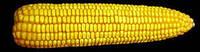 Семена кукурузы отечественной селекции Любава 279 МВ, простой гибрид (ФАО-270)