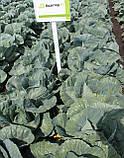 Семена капусты Адаптор F1, 2500 семян, фото 3