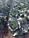 Семена капусты Адаптор F1, 2500 семян, фото 5