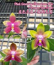 Орхидея Восковой ароматный гибрид Germaine Vincent var. blue × Dragon Tree Eagle