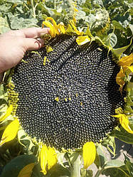 Купить Насіння соняшника НС Х 2652 Стандарт (Юг Агролідер)