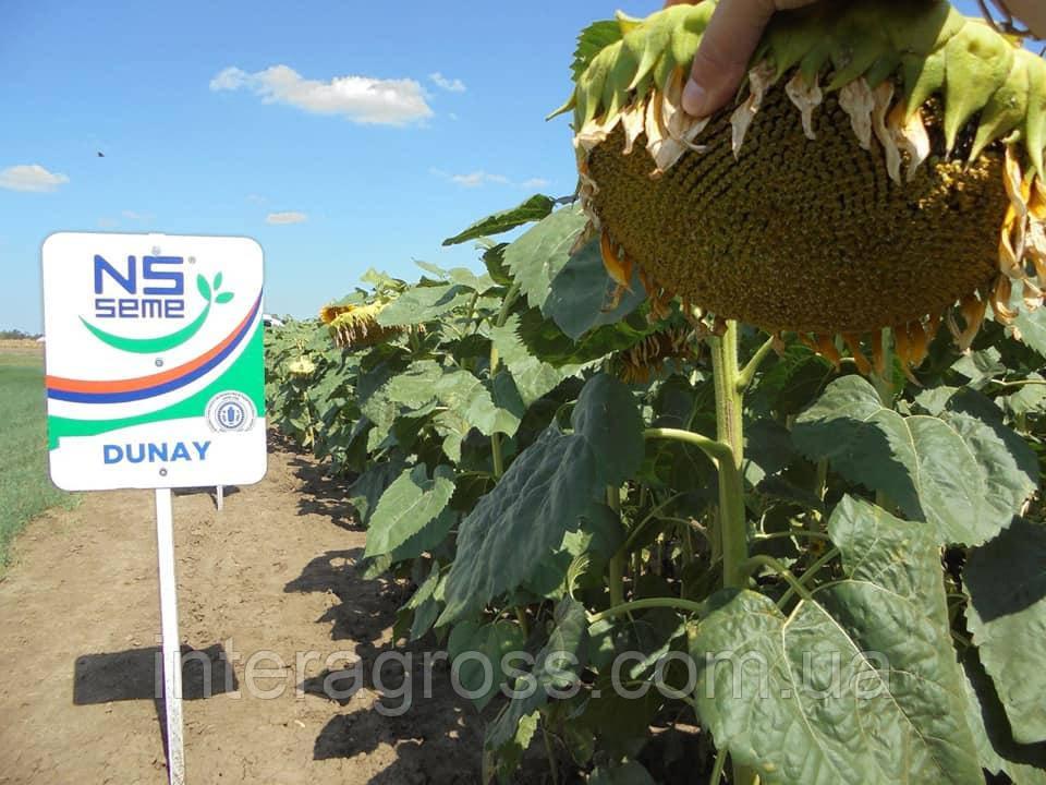 Купить Семена подсолнечника ДУНАЙ Стандарт (Юг Аролідер)