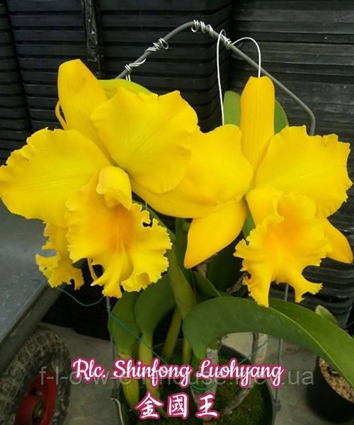 Орхидея Ароматная Rlc. Shinfong Luohyang
