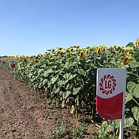 Семена подсолнечника Limagrain Тунка