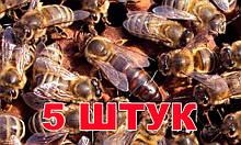 Матка породы Карника (не плодные) - 5 пчеломаток