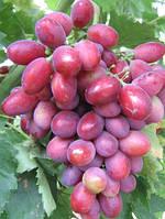 Саженцы винограда Дунав