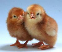 Томашпольская инкубаторная станцыя занимается  продажей суточного молодняка птицы: цыплята , гусята , утята.