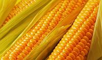 Насіння кукурузи Дніпровський 257 СВ ФАО 290